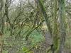 Maidenhead thicket