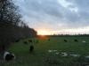 Cows near Marlow