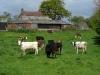 Cows near Naburn