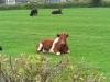 Regal cow