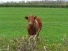 Alert cow