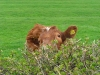 Sidle cow
