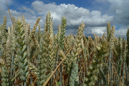 wheat1_scale