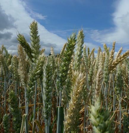 wheat2_scale