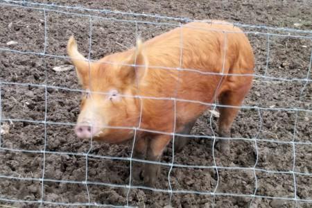 piggy_scale