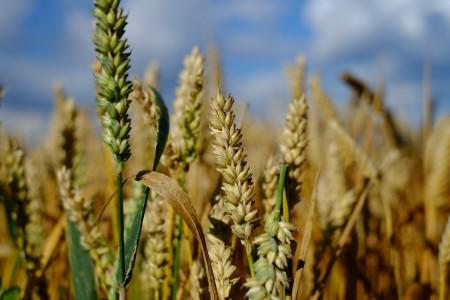 wheat_scale