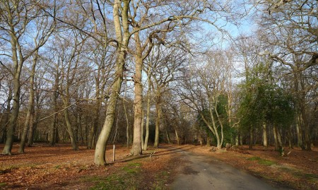 beeches_scale