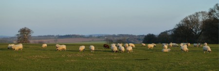 sheep_scale