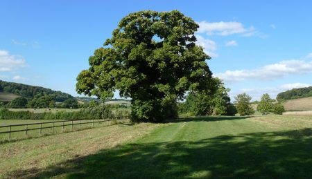 Oak tree outside High Wycombe
