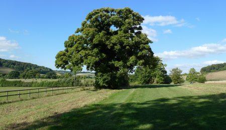 Oak tree outside High Wycombe