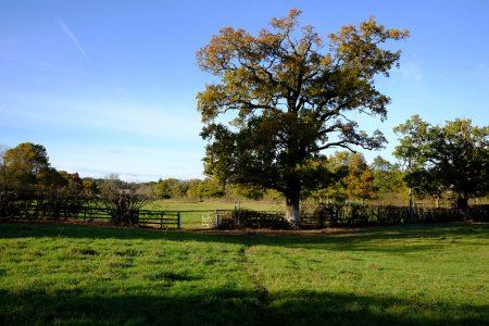 Oak tree at Fulmer