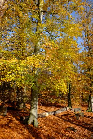 Yellow tree in Black Park